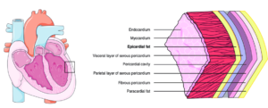 Different Types of Heart Walls